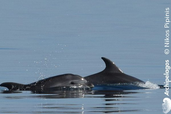Gallery_CET_11_Tursiops_Nikos_PIPINHS_DSC_0436_head_LOWres