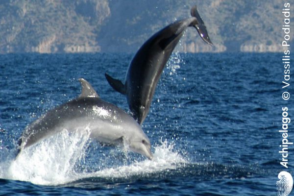 Gallery_CET_12_Tursiops_Vassilis_PODIADIS_Two_Bottlenose_Dolphins