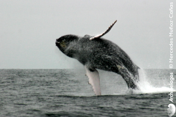 Gallery_CET_7_Humpback_whale_Mercedes_MUNS_CANAS_foto_012_LOWres