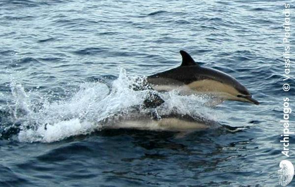 Gallery_CET_14_Common_dolphin_Vassilis_PODIADIS_LOWres