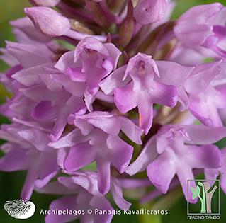 Wilde Orchideen in Kefalonia und Ithaka